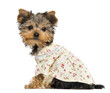 Side view of a dressed up Yorkshire Terrier puppy looking