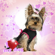 Dressed-up Yorkshire Terrier puppy on designed background