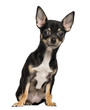 Chihuahua puppy sitting, 4 months old, isolated on white