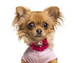 Close-up of a Dressed up Chihuahua, 10 months old, isolated