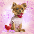 Dressed up Chihuahua sitting on heart background, 10 months old