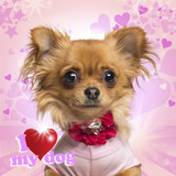 Close-up of a Chihuahua wearing a bow collar on heart background