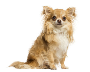 Chihuahua sitting, facing, 18 months old, isolated on white