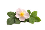Flower of dog rose isolated on white