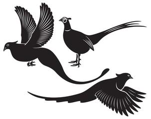 bird pheasant