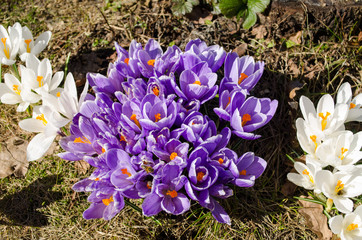 saffron crocus flower insects bees nectar spring