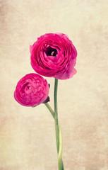 Two single ranunculus flowers on vintage background