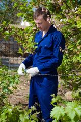 Farmer tying grape branches