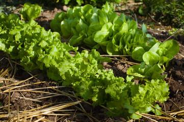 Salad growing