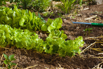 Salad growing in mulch with gardening tools