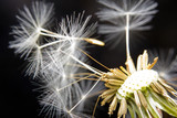 Close-up of a dandelion in the wind - 52810737