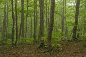 Bosque en la niebla, Montseny.
