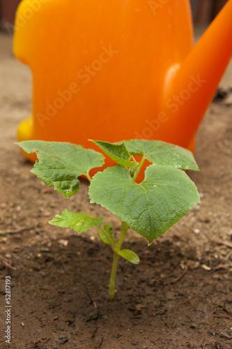 Young cuccumber plant