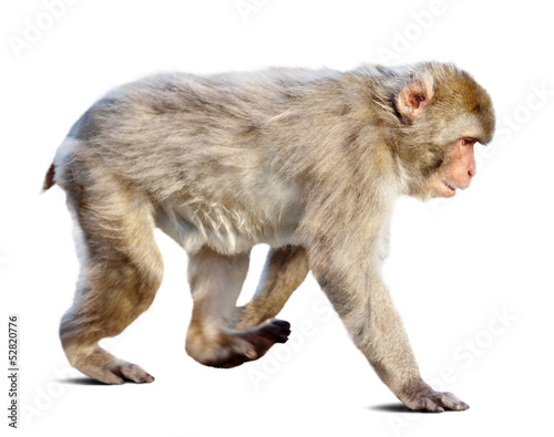 Wakking japanese macaque over white background