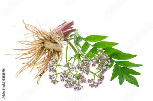 Baldrian (Valeriana officinalis) Wurzeln, Blätter und Blüten - 52828916