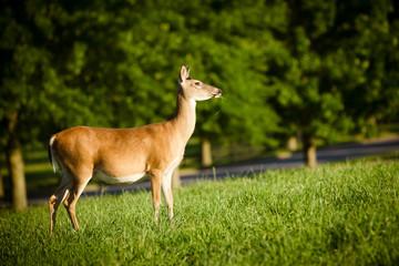 Portrait of pregnant whitetail deer doe, Odocoileus virginianus