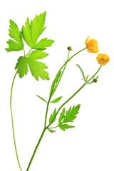 Scharfer Hahnenfuß (Ranunculus acris)