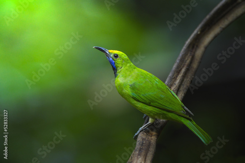 Golden-fronted leafbird on small branch,thailand