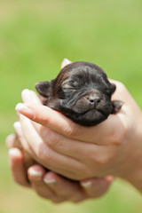 Sleeping puppy dog in woman hands