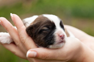 Newborn puppy dog in woman hands