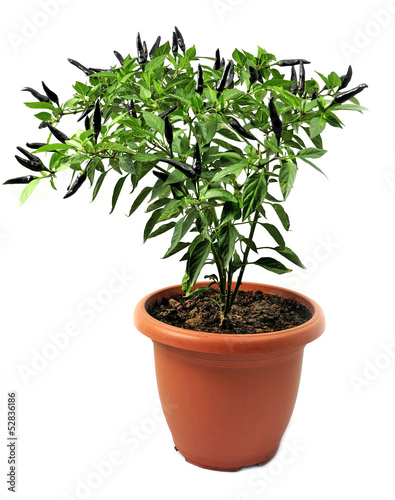 ornamental pepper grown in pots  isolated on white