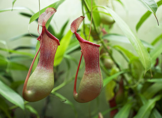 flower Nepenthes