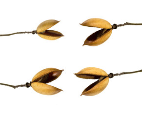 many seed pod on a white background