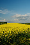 Rape field in spring bloom