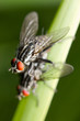 Mating of house-flies (musca autumnalis)