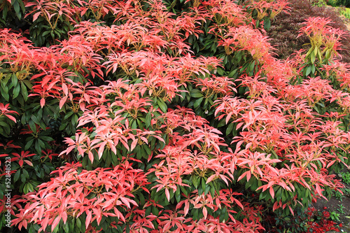 Pieris Japonica 'Red Head' Red Head Pieris