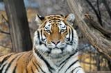 Sibirischer Tiger - 52850336