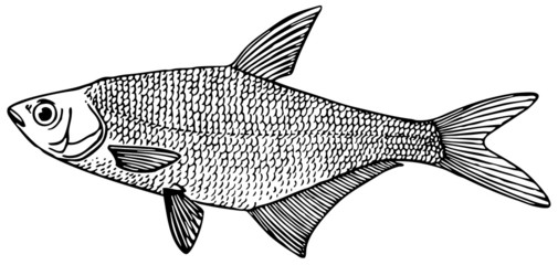 Fish Blue bream