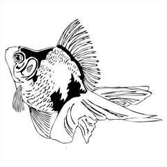 swiming goldfish outline sketch vector