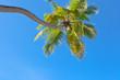 cocotier penché sur fond de ciel bleu
