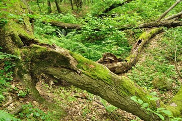 An old tree trunk lying in green forest