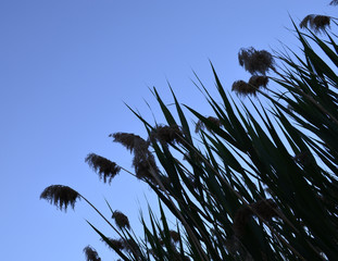 reeds under sunset