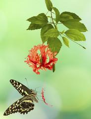 papillon sur hibiscus