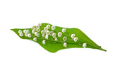 Leaf and Flowers of Lily of the Valley