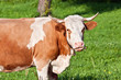alpine cute cow on summer pasture
