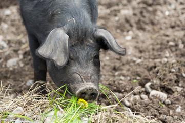 Cochon qui mange de l'herbe