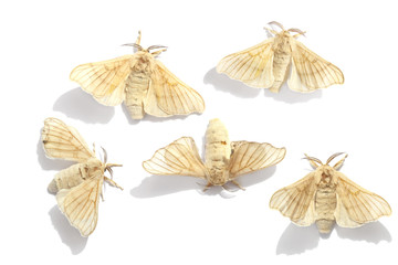 Butterflies of a silkmoth
