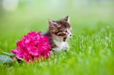 tabby kitten meows poster