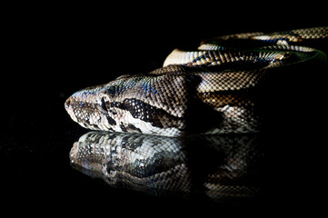 Python snake reptile close-up macro portrait on black