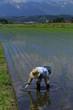 水田の手植え