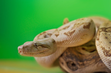 Boa constrictor reptile snake close up macro portrait