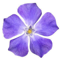 Purple Flower - Periwinkle - Vinca minor - isolated on White