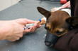Injection for dog