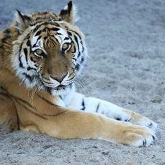 tiger on sand