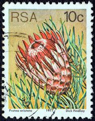 Protea aristata (South Africa 1977)