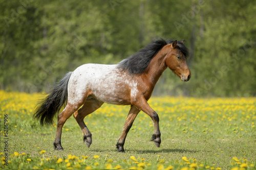 Appaloosa foal runs trot on the field